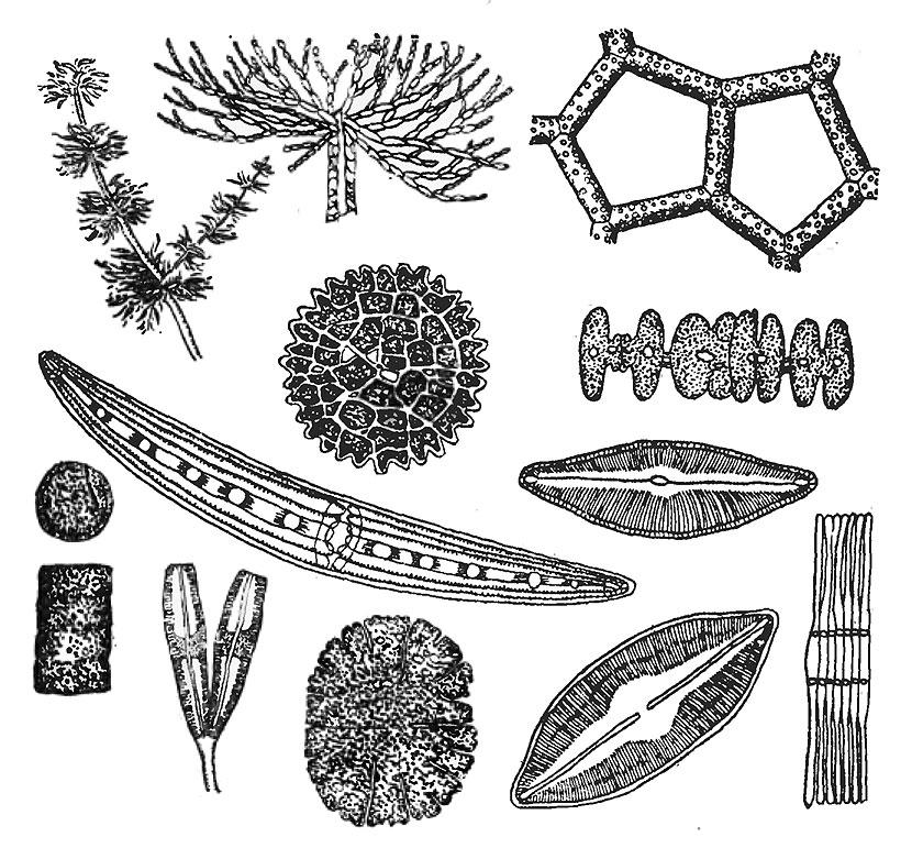 фитопланктон для толстолобика состав