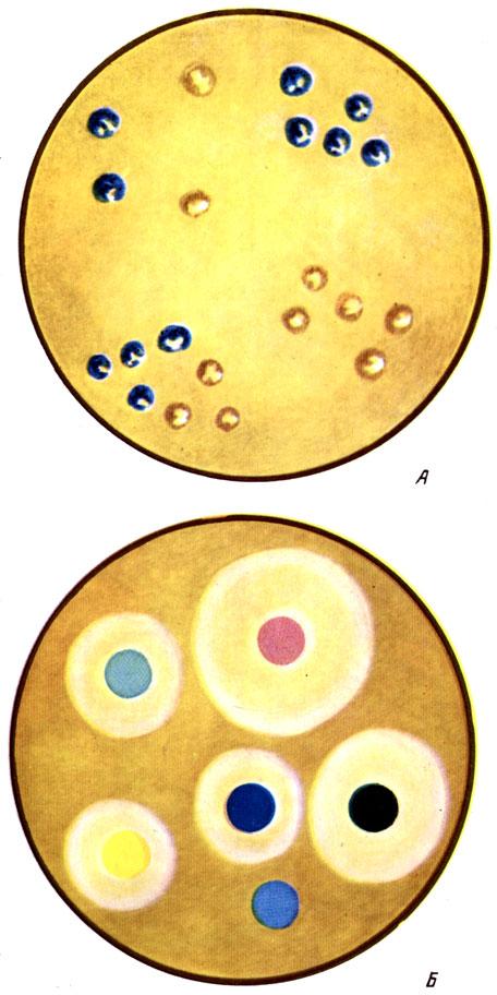 Таблица I. Колонии бактерий, положительно реагируют на цитохромоксидазу (окрашены в сине - голубой цвет) (А); Б - определение чувствительности бактерий к антибиотикам методом бумажных дисков на агаре