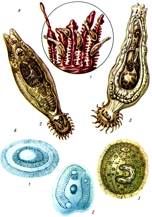 Таблица V. Гиродактилез и дактилогироз рыб (А): 1 - паразиты на жабрах; 2 - гидродактилюс; 3 - дактилогирус; Б - возбудители протозоиных болезней рыб: 1 - триходина; 2 - хилодонелла; 3 - ихтиофтириус