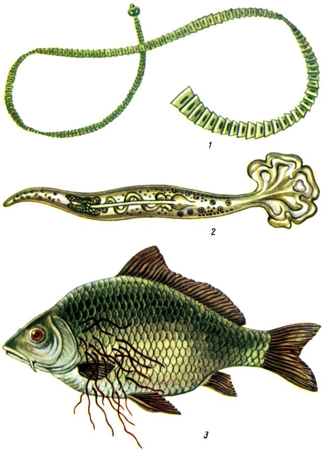 Таблица VI. Возбудители гельминтозов рыб: 1 - ботриоцефалюс: 2 - кавиа: 3 карп со зрелыми филометроидесами