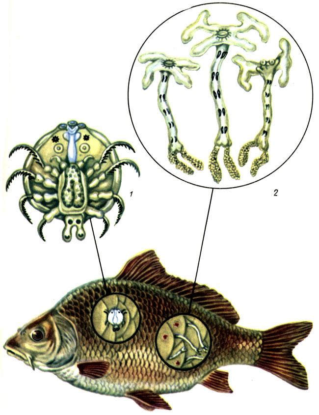 Таблица VII. Возбудители крустацеозов рыб: 1 - аргулюс: 2 - лернеа; 3 - пораженная рыба