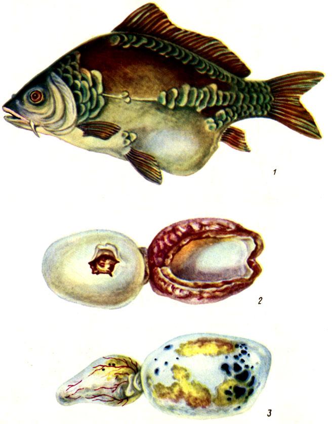 Таблица VIII. Воспаление плавательного пузыря карпов (1); 2 - пузырь при остром и 3 - хроническом течении болезни