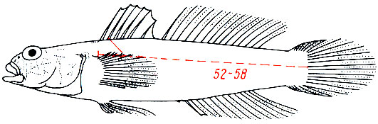 Gobius cruentatus - красноротый бычок
