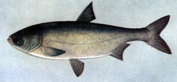 толстолобик жирность рыбы
