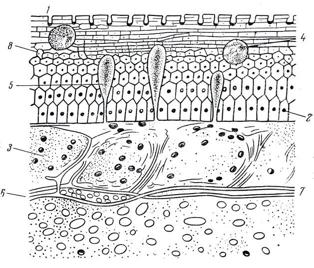 Строение кожи рыбы: 1
