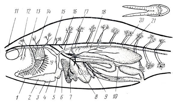 Схема кровообращения окуня: 1