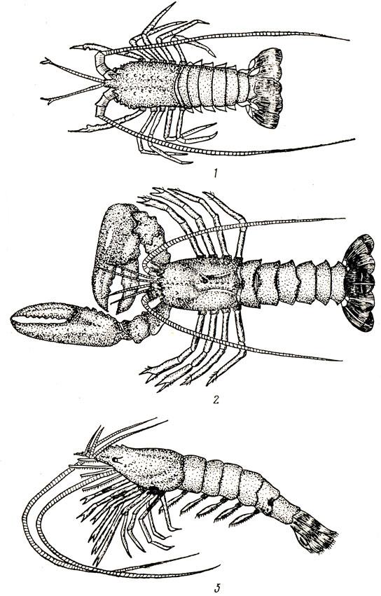 Ракообразные, выращиваемые на морских фермах: 1 - лангуст (Panullrus vulgaris), 2 - омар (Homarus gammarus), 3 - японская креветка (Penaeus japonlcus)