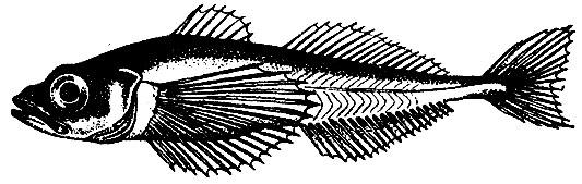 Длиннокрылая широколобка. Длина не более 19 см