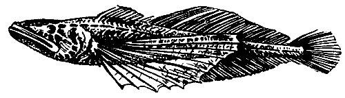 Малая голомянка. Длина не более 13 см