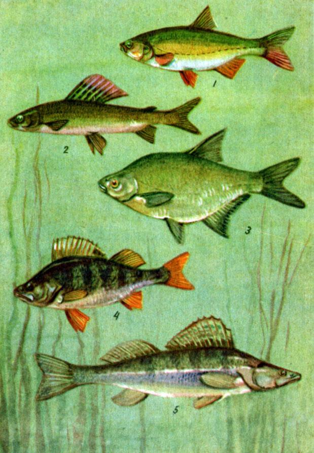 Таблица 4. Пресноводные промысловые рыбы: 1 - язь; 2 - хариус; 3 - лещ; 4 - окунь; 5 - судак