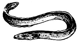 Европейский угорь. Достигает длины 150 см
