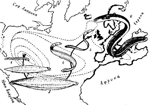 Схема распределения личинок речного европейского угря: 1 - только что вышедшая личинка; 2 - годовалая личинка; 3 - двухгодовалая личинка; 4 - личинка перед началом превращения; 5 - стекловидный угорь; 6 - взрослый угорь