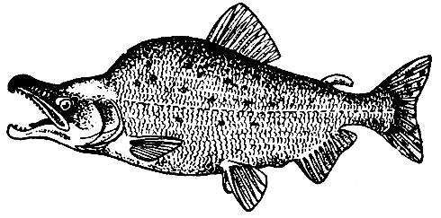 Самец горбуши в период образования горба