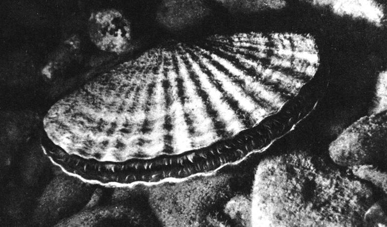 Створки морского гребешка - как две перламутровые тарелки. Из раковин делают пепельницы, пуговицы, украшения, а мясо едят