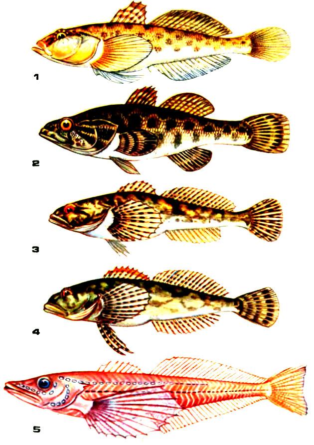 Таблица VIII. 1 - бычок-песочник; 2 - головешка; 3 - обыкновенный подкаменщик; 4 - пестроногий подкаменщик; 5 - большая голомянка